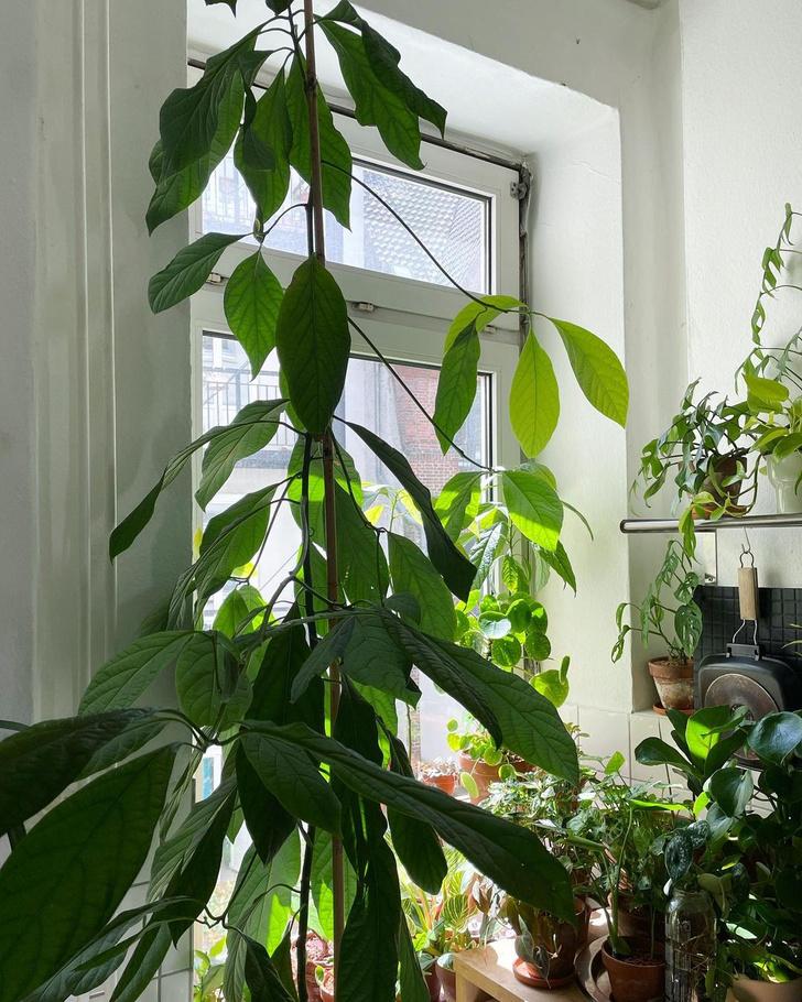 Фото №6 - Как вырастить авокадо у себя дома: практические советы