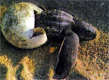 Фото №2 - Черепаха, которую не съели