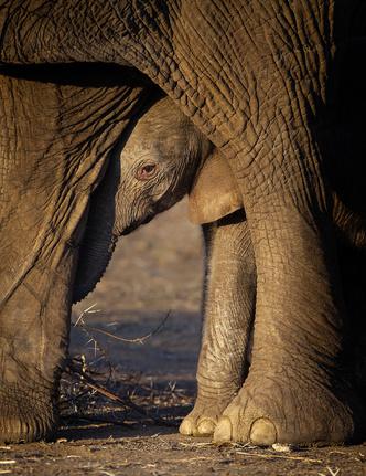 Фото №1 - Зоология: почему слоны не летают