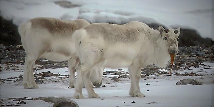 Фото №1 - Глобальное потепление заставило северных оленей изменить рацион