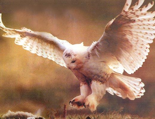 Фото №1 - Фанаты белой совы