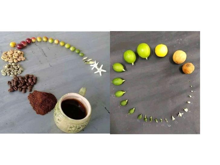 Фото №1 - От цветка до кофе в твоей чашке. И другие стадии жизни растений, ягод и животных в одном фото (18 примеров)