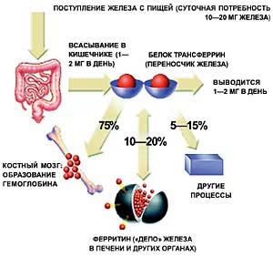 Фото №1 - Дефицит железа в организмах восполнят растения