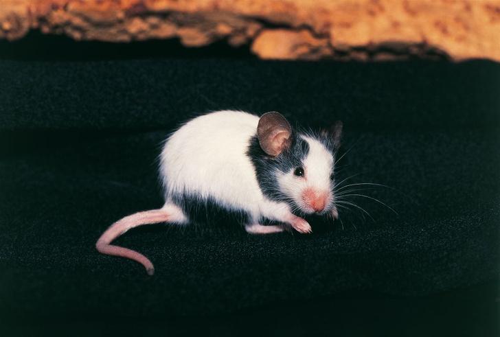 Фото №1 - Мыши поумнели от соседства с людьми