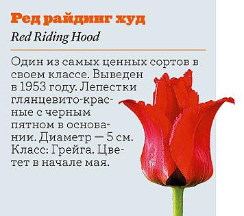 Фото №19 - Самые популярные сорта тюльпанов