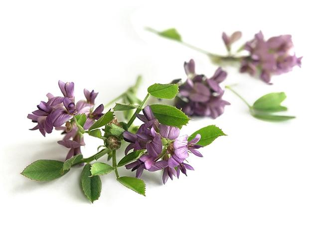 Фото №10 - Самые полезные лекарственные травы