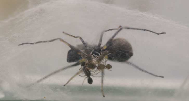 Фото №1 - Обнаружены пауки, кормящие своих детенышей молоком