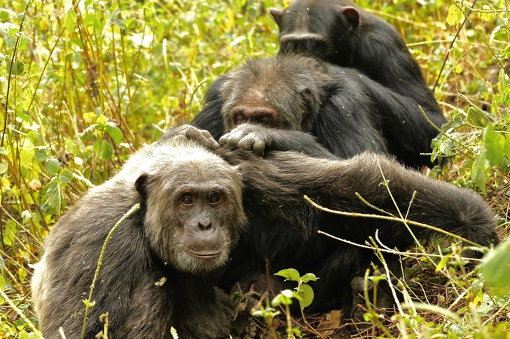 Фото №1 - Шимпанзе выбирают друзей так же, как и люди