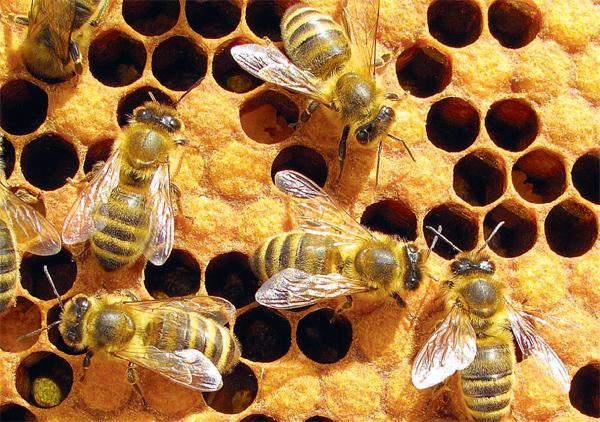 Фото №1 - Мёд против пчёл