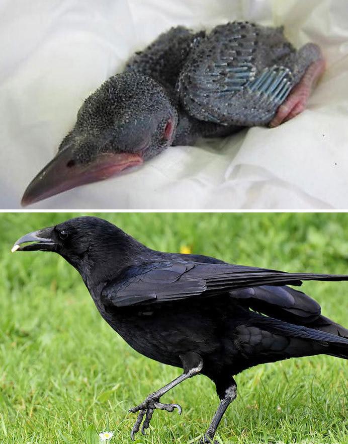 Фото №21 - 30 красивых птиц, которые были уродливыми птенцами (галерея)