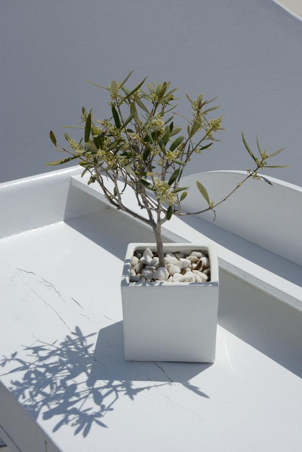 Фото №3 - 8 модных средиземноморских растений для балкона и патио