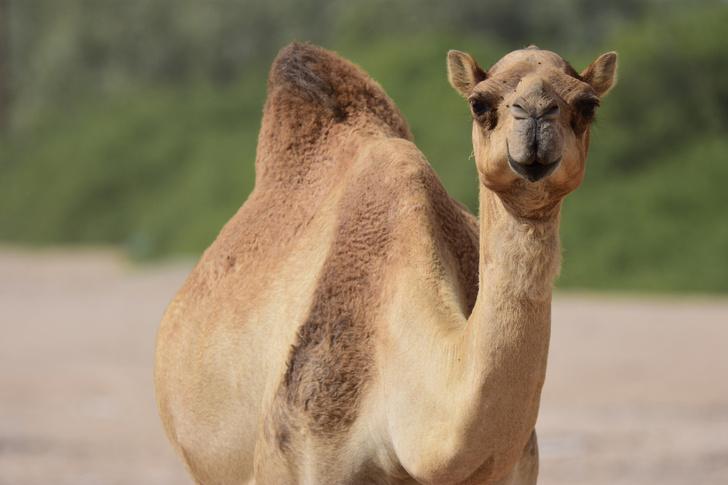 Фото №3 - Корабли пустыни: 7 поразительных фактов о верблюдах