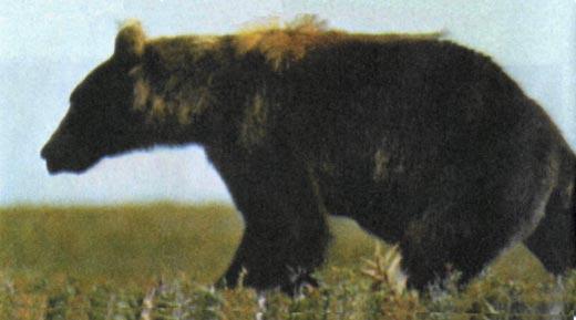 Фото №1 - Среди медведей