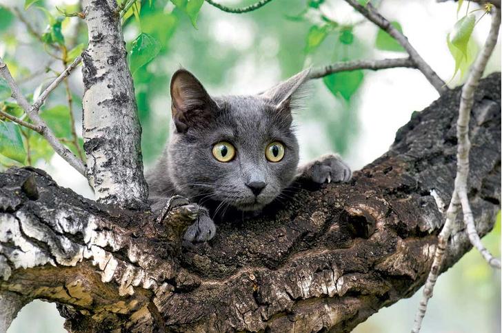 Фото №1 - Почему кошки часто «застревают» на дереве?