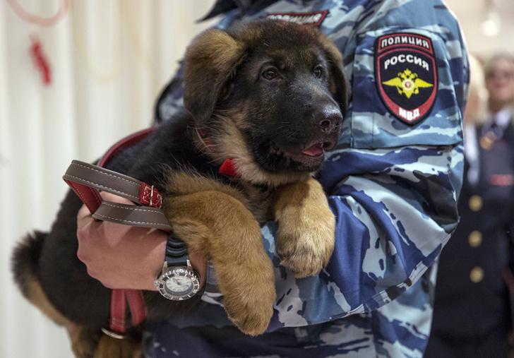 Фото №1 - Российский щенок Добрыня заменит овчарку, погибшую во время контреррористической операции во Франции