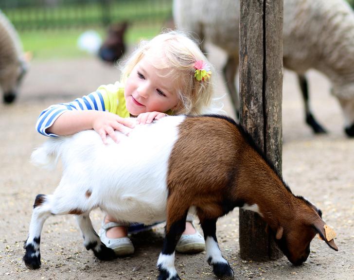 Фото №1 - Козы способны потеснить собак в роли лучших друзей человека