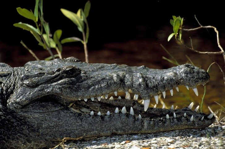 Фото №1 - Ученые выяснили, почему крокодилы почти не изменились за 200 млн лет
