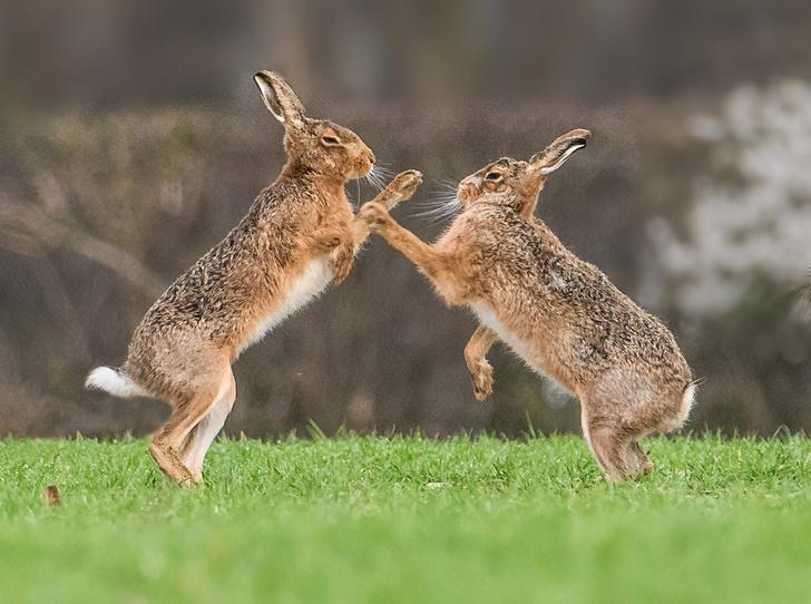Фото №1 - Мартовские зайцы