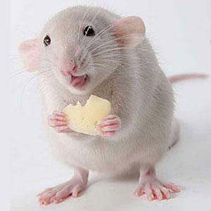 Фото №1 - Крысы на завтрак, крысы на обед