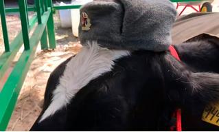 На ярмарке в Брянске коров нарядили в форму Советской армии (видео)