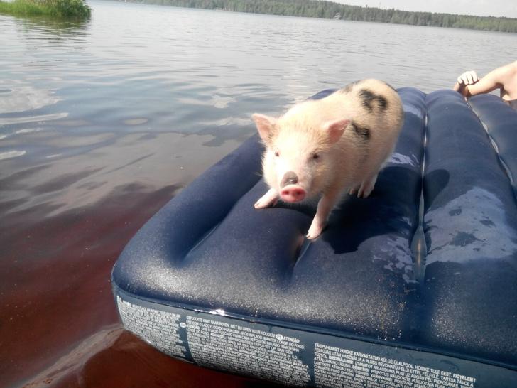 Фото №2 - Нос пятачком: 8 знаменитых свинок Петербурга