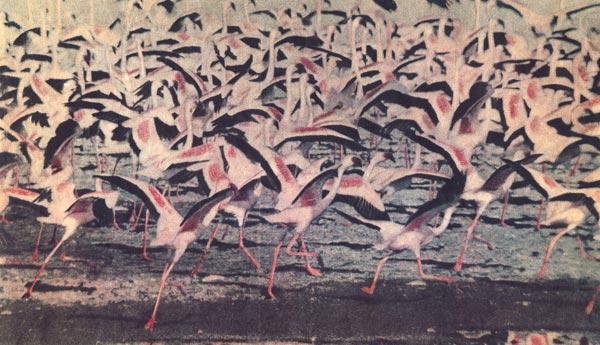 Фото №1 - Операция «Фламинго»