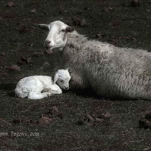Фото №1 - Овцы-матери