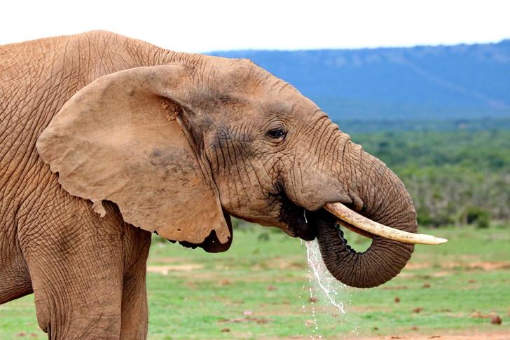 Фото №1 - Ученые выяснили, сколько литров воды помещается в хоботе слона