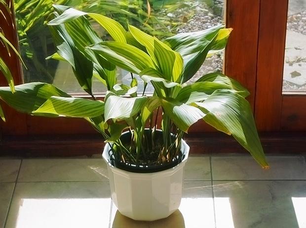 Фото №6 - 6 самых неприхотливых комнатных растений