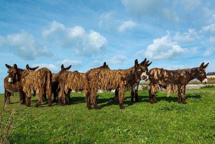 Фото №9 - Зачем корове челка? 13декоративно-прикладных пород