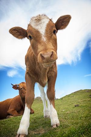 Фото №6 - К чему снится корова или бык: что говорят сонники и психологи
