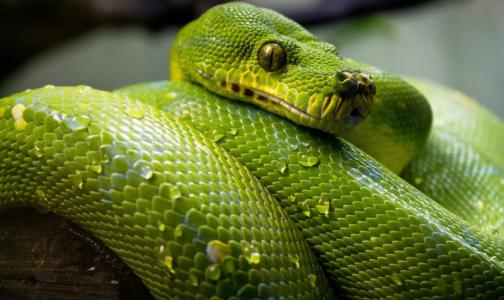 Фото №1 - Ученые: Коронавирус мог попасть в организм человека вместе со змеиным мясом