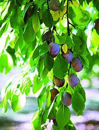 Фото №3 - Черное золото Аквитании: 7 небанальных блюд из слив
