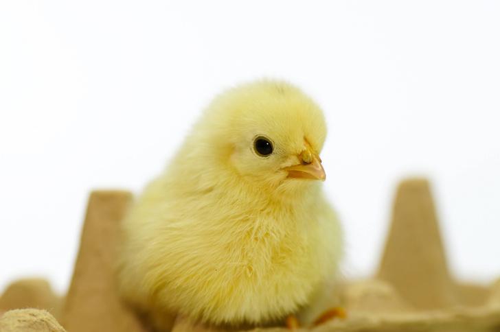 Фото №1 - Найден способ менять пол цыплят