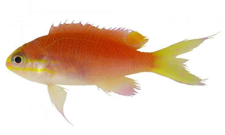 Фото №1 - Новый вид рыб официально назван в честь Барака Обамы