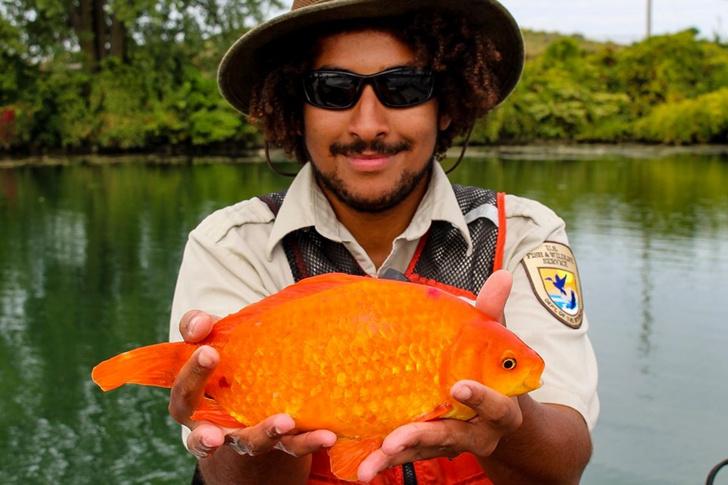 Фото №1 - В Ниагаре поймали огромную золотую рыбку