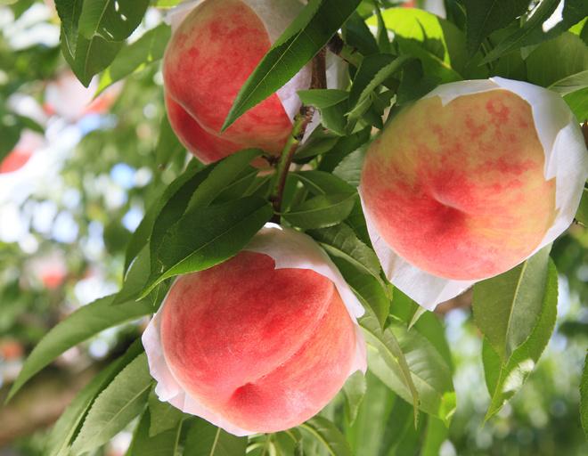 Пастила из персиков на зиму