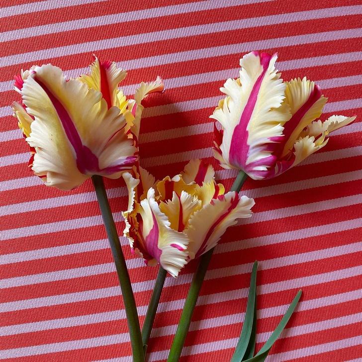 Фото №1 - Уход за тюльпанами: 5 главных ошибок