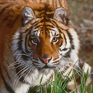 Фото №1 - Судьбу тигров решат в Катманду