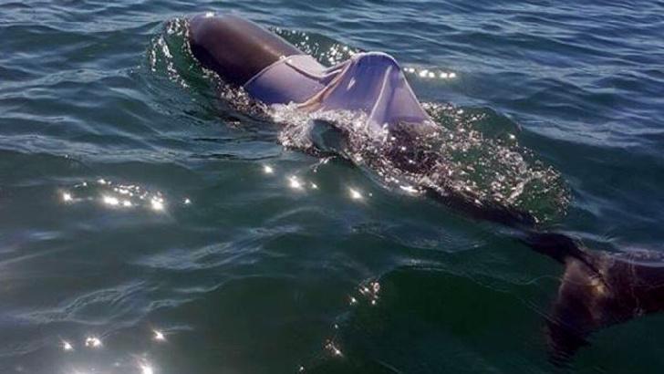 Фото №2 - В Австралии ищут дельфина в футболке