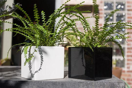 Фото №6 - Модное растение в доме: папоротник