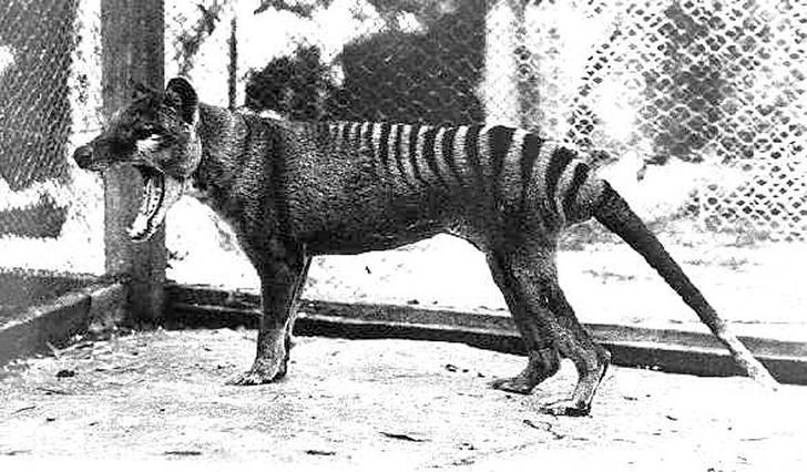 Фото №1 - В Австралии было замечено считавшееся вымершим животное