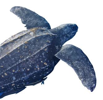 Фото №6 - Тише едешь— дольше будешь: долголетие и другие загадки гигантских черепах