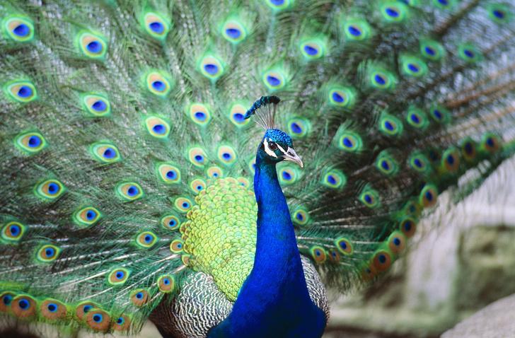 Фото №1 - Птицы могут быть либо красивыми, либо талантливыми