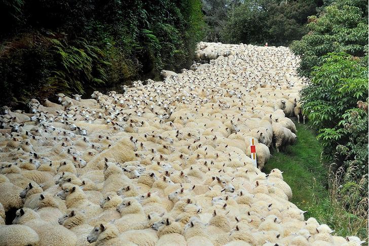 Фото №1 - Море овец