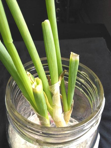 как вырастить лук, зеленый лук