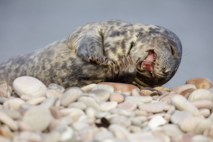 Фото №1 - Как рост популяции тюленей влияет на рыбные запасы Балтики