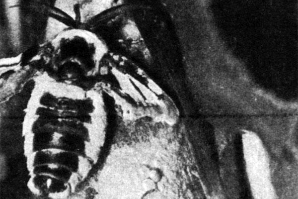 Фото №1 - Тридцать дней за столом, или Бурная жизнь шелковичного червя