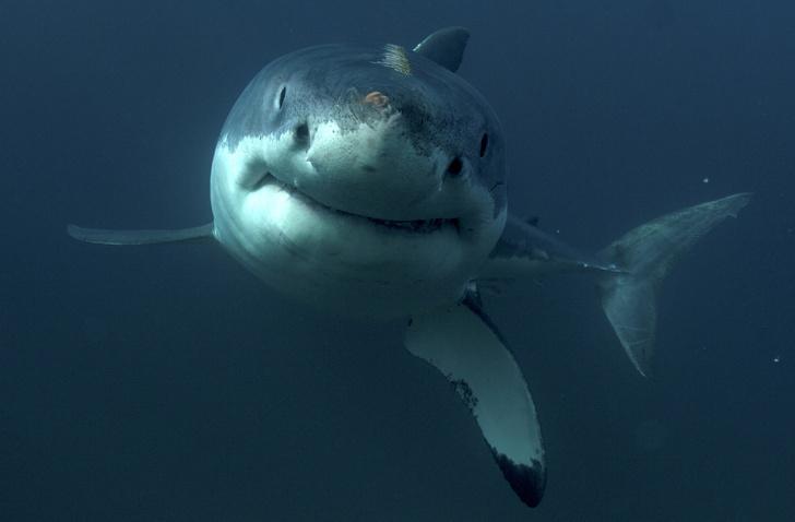 Фото №1 - Умные до ужаса: акулы — профессора убийства