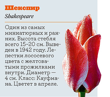 Фото №16 - Самые популярные сорта тюльпанов